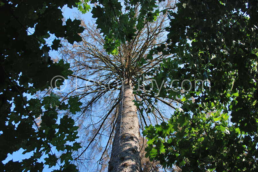 Исполинская ель сквозь листья клёна.